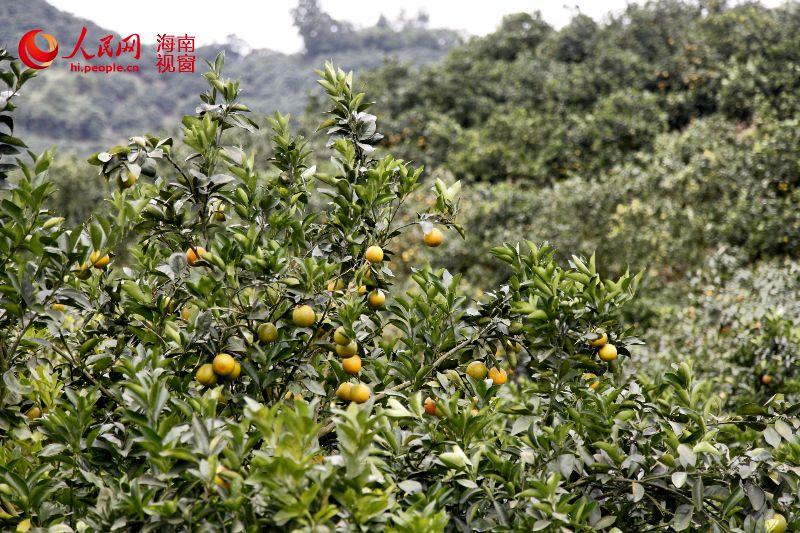 成熟的绿橙已挂满枝头