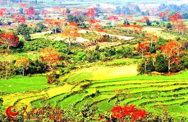 昌化江畔木棉红美景(昌江县提供的往年图片)