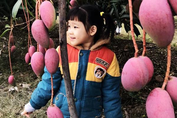 三亚芒果上市了 首期迎春采摘活动受追捧