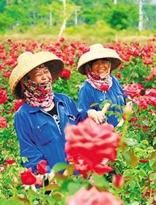 三亚玫瑰谷:春拂玫瑰田 老乡奔小康