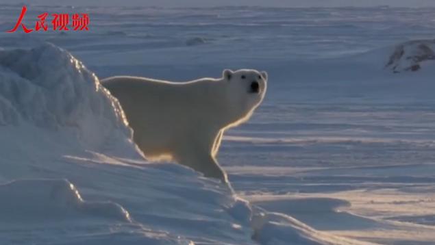 """北极圈部分地区升温,北极熊真的是在泡温泉吗?&#13;        <a href=&quot;http://hi.verbatimband.com/zhibo/n2/2018/0815/c231197-31935201.html&quot; """"中国第九次北极科学考察队顺利完成首个短期冰站作业,来看看北极熊真的是在泡温泉吗?"""