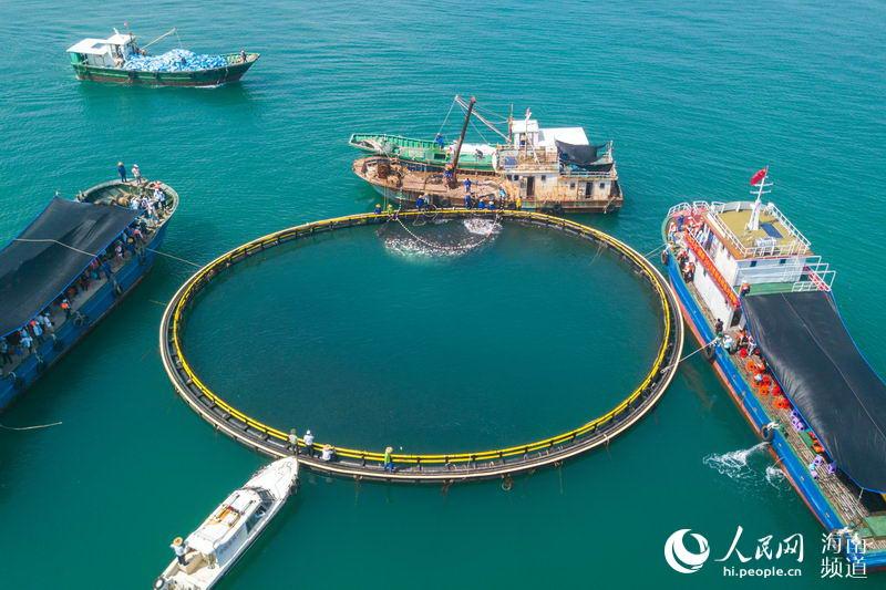 深海网箱捕捞金鲳鱼独家