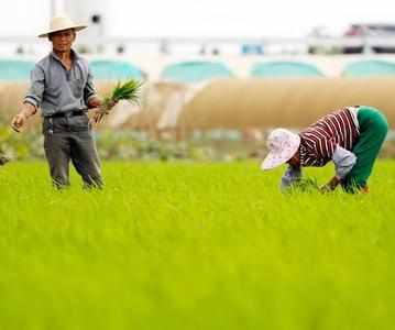 春日海口气候宜人 葱绿田野农夫处处忙春耕