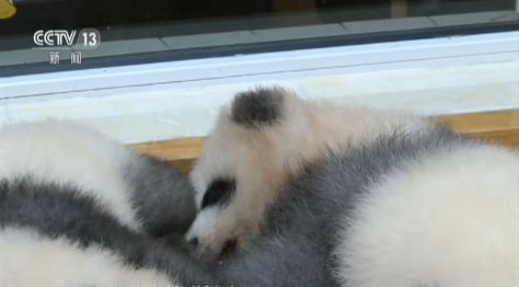 """熊猫宝宝""""绩笑""""首次公开亮相"""