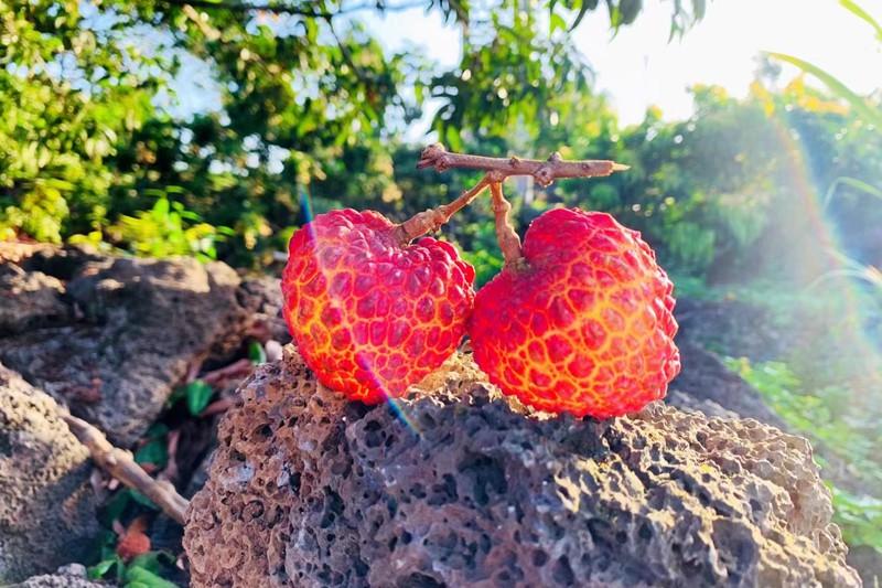 海口火山荔枝鲜红饱满。姚妙娟摄