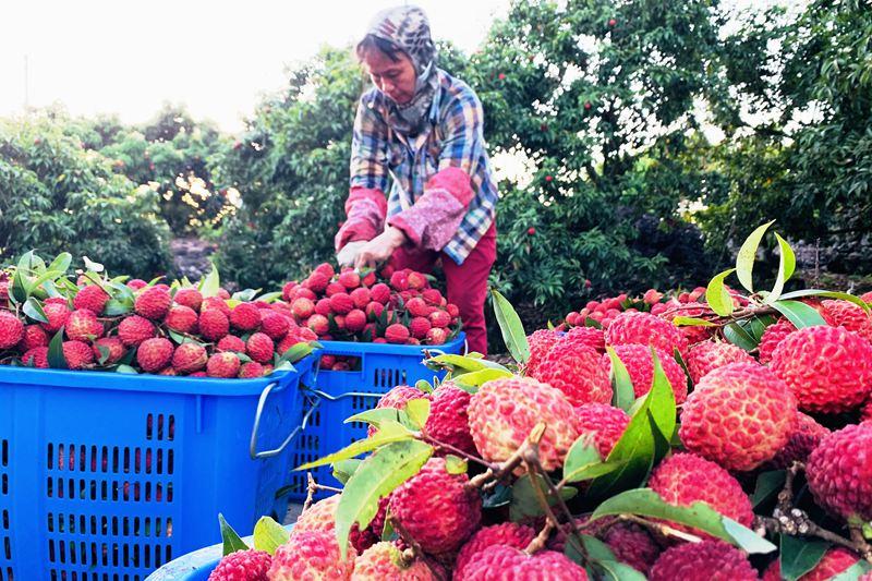 海口永兴镇果园内,工人将采摘下的荔枝打包装筐。姚妙娟摄