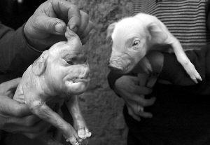 重庆母猪产下2.6斤大象 专家称或是返祖现象